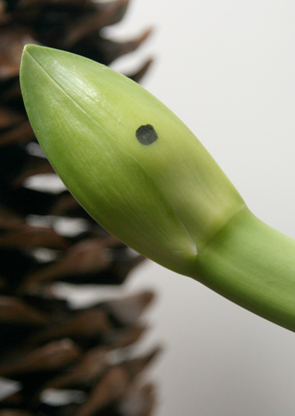 amaryllis-zapfen-deko