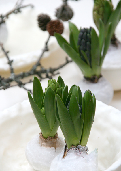 Frühlingszwiebeln in Wachs getaucht